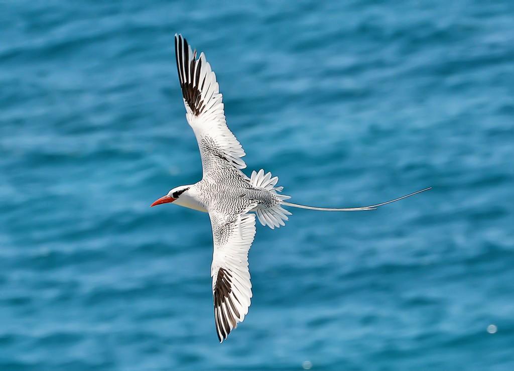 Red-billed tropicbird, Great Bird Island, Antigua, by Ted Lee Eubanks