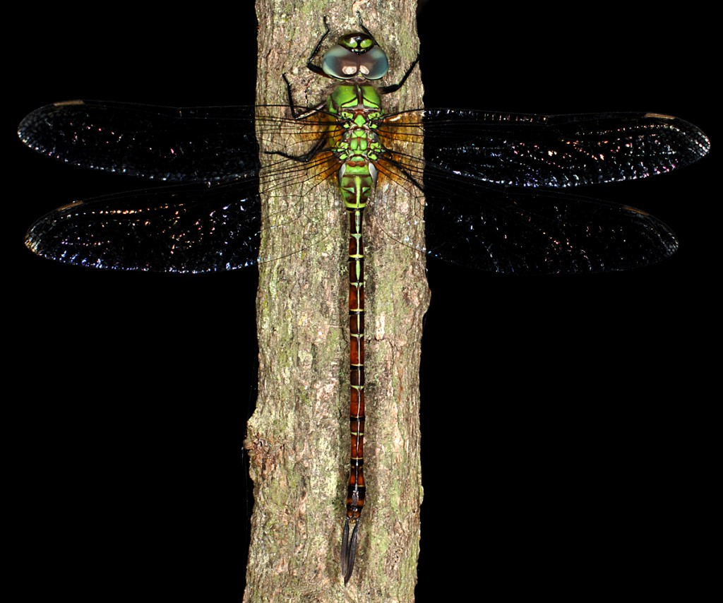 Blue-faced darner, Weslaco, Texas, by Ted Lee Eubanks
