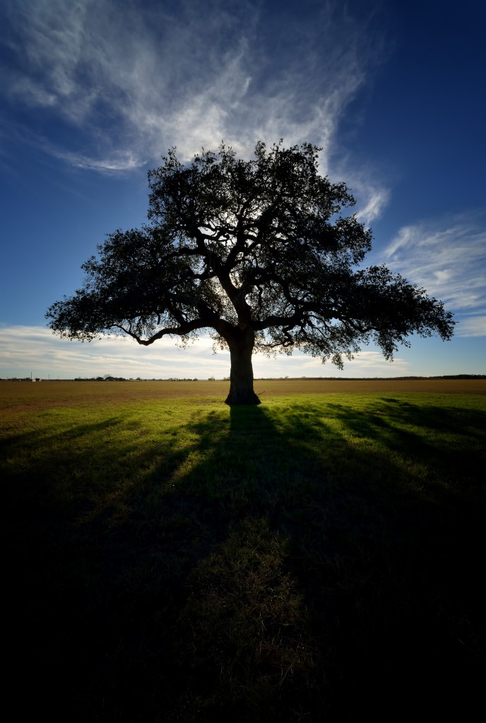 Lone oak, Goliad, Texas, by Ted Lee Eubanks