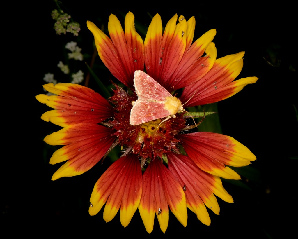 Indian blanket moth (Schinia volupia), Austin, Texas, by Ted Lee Eubanks