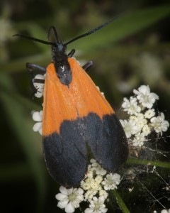Black-and-yellow lichen moth (Lycomorpha pholus)