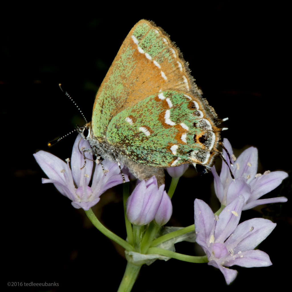 Juniper hairstreak (Callophrys gryneus), feeding on Drummond's wild onion (Allium drummondii)