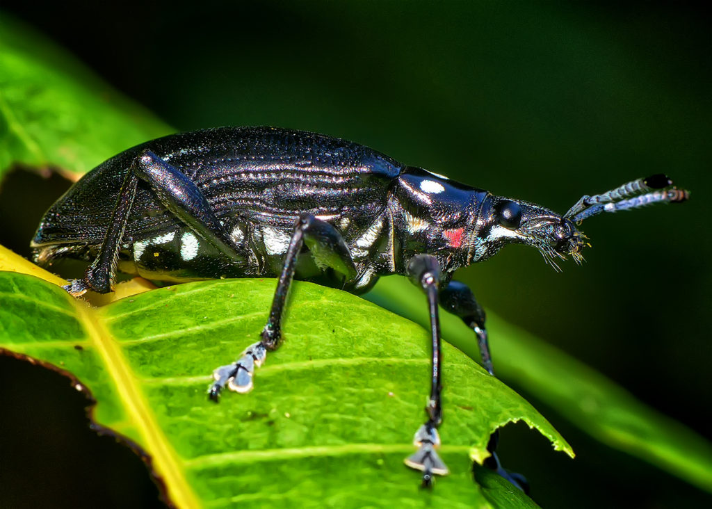 Jamaican weevil (Lachnopus sp.) by Ted Lee Eubanks